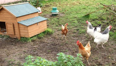 Backyard Poultry Donald S Mcgregor Partners Ltd Backyard Chicken Farming