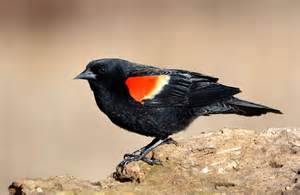 redwing blackbird dream meaning and interpretations