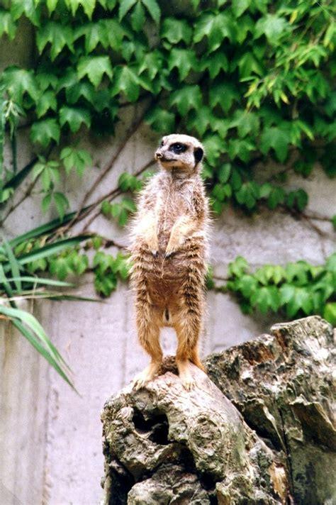 zoologischer garten berlin erdmännchen erdm 228 nnchen auf wacht im zoo deutschland m 252 nster 29 06