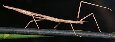 insetto stecco alimentazione cosa mangia l insetto stecco trovami