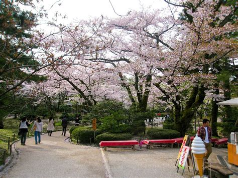 when did japan give us cherry blossoms when did japan give us cherry blossoms 100 when did