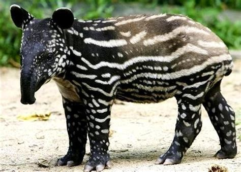 images  tapirs  pinterest adorable babies mom  births