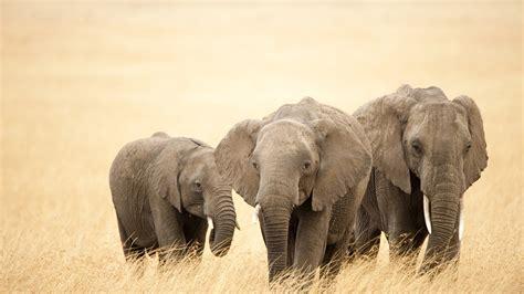 cool elephant wallpaper elephant wallpaper 1920x1080 40576