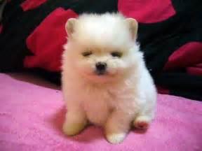 1 month pomeranian pomeranian baby one month pomeranian puppy umi