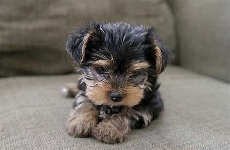 small dogs yorkie of a place to dogs puppies yorkie small with quotes litle pups