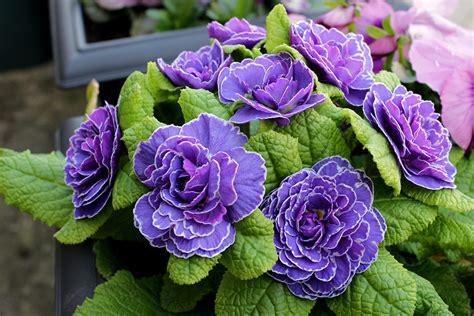 Indoor Garden Design Pictures Specials Primula Belarina Blue Huntersgardencentre Com