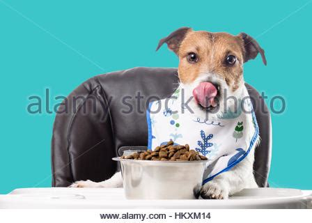 dog eating food from chrome bowl stock photo getty images a dog eating from a blue bowl stock photo royalty free