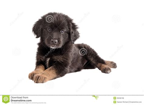 black and brown breeds adorable black and brown fluffy puppy on white stock photo