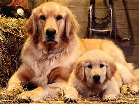 golden retriever and golden retriever blogs monitor