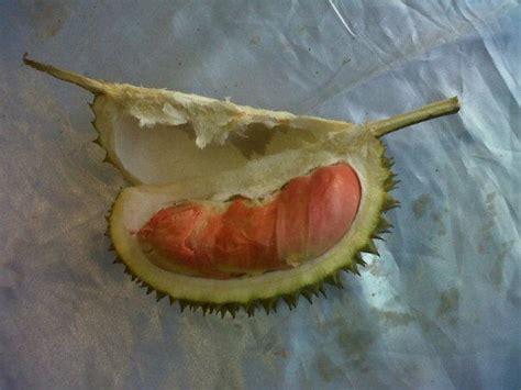 Bibit Durian Udang Merah buah durian bibit durian unggul