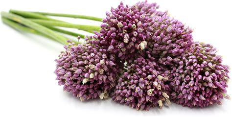 garlic flower garlic flowers information and facts
