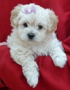 havanese x poodle white havapoo puppies www pixshark images galleries with a bite
