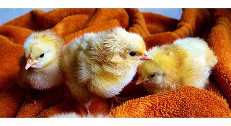 hühnerhaltung wohngebiet h 252 hner selbst halten eine anleitung mit tipps und tricks