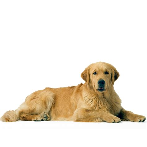 golden retriever legs give out golden retriever ra 231 as de c 227 es royal canin