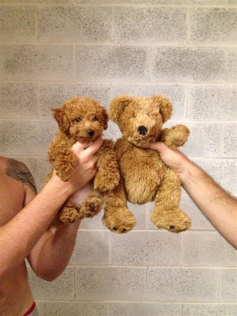 puppy teddy 13 dogs who may not actually be dogs after all huffpost