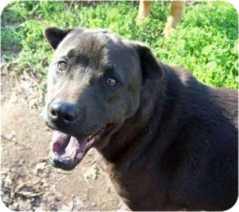 golden retriever puppies spartanburg sc spartanburg sc shar pei labrador retriever mix meet max a for adoption