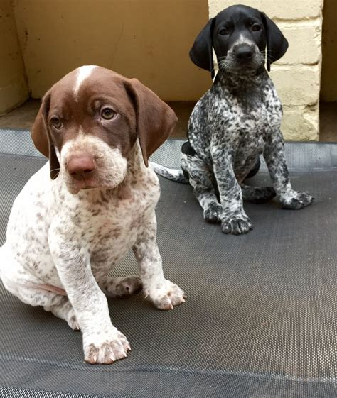 pointer puppies for sale german shorthaired pointer puppies for sale wrexham wrexham pets4homes