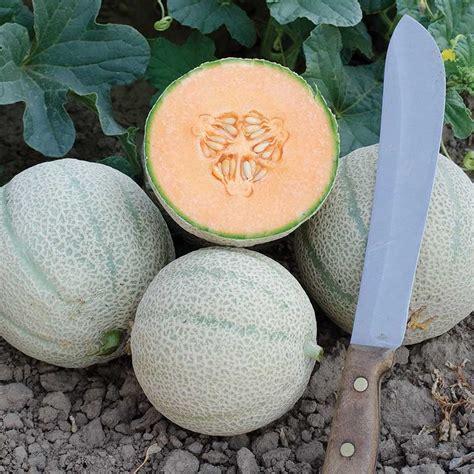 Cantaloupe Shelf by Skol F1 Hybrid Melon Seeds Ne Seed