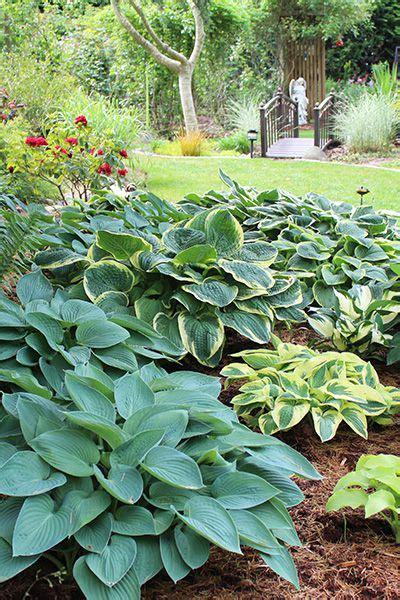 hostas for areas 28 images hostas gardening for