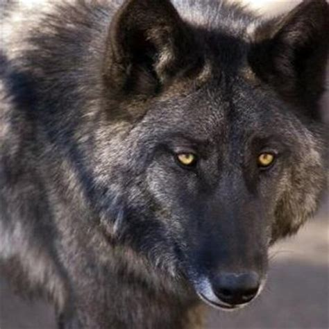 wolf hybrid puppies wolf hybrid dogs wolfhybriddogs