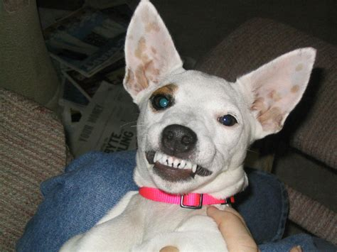 puppy baby teeth retained baby teeth in pets petmeds 174 pet health