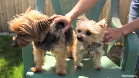 yorkie rescue 911 puppies from yorkie 911 rescue newsday