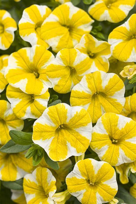 superbells 174 lemon slice calibrachoa hybrid proven winners