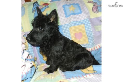 scottish terrier puppies for sale near me scottish terrier puppy for sale near los angeles california 3286520e b971
