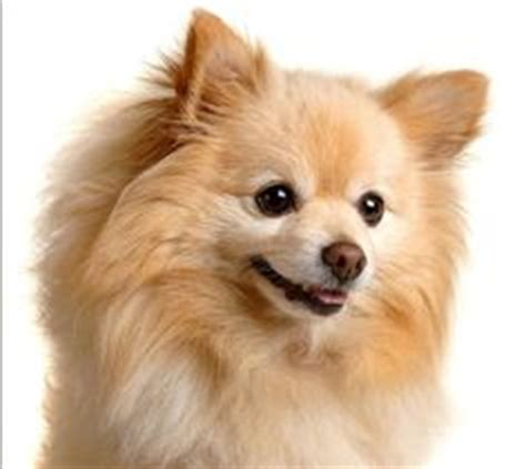 royal canin pomeranian didyouknow there are hundreds of different breeds of dogs and around 400 million