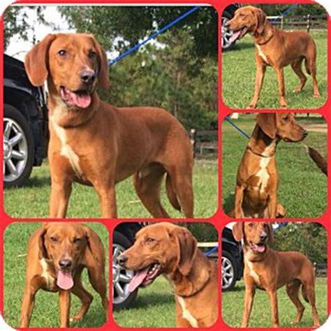 redbone coonhound golden retriever mix archie adopted lab022 davenport fl labrador retriever redbone coonhound mix