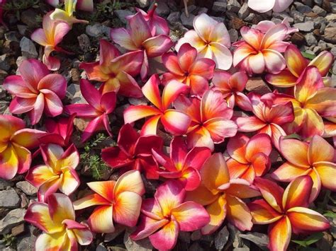 Wedding Album Varieties by 581 Best Images About Plumeria Varieties And Their Care