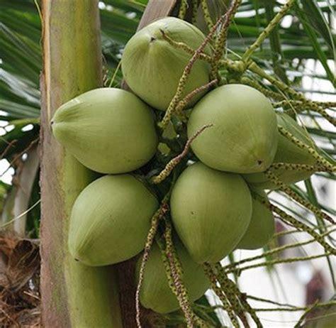 kelapa hijau kasiat dan cara penggunaannya problem khasiat air kelapa muda hijau degan ijo cara hidup sehat