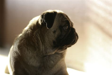 tale pugs pug symbolism a message spirit animal totems