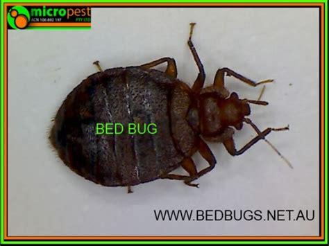 How To Kill Bed Bug by How To Kill Bed Bugs Pest Sydney N S W Australia