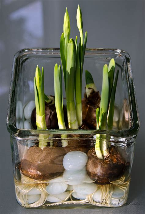 forcing bulbs in water flower