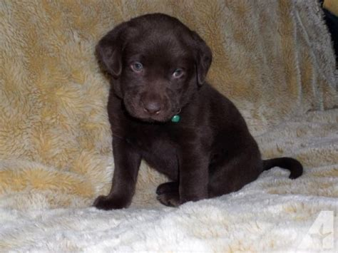 silver lab puppies for sale in oregon labrador breeders oregon dogs in our photo
