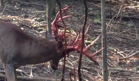 this buck let out some pent up aggression on