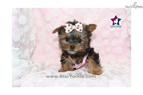 white teacup yorkie puppies dogs and puppies for sale and adoption oodle marketplace