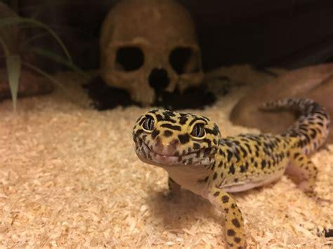 Leopard Gecko 2 leopard gecko incubator for sale seterms