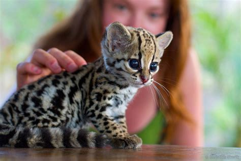 wants a kitten ocelot kitten i want one weknowmemes