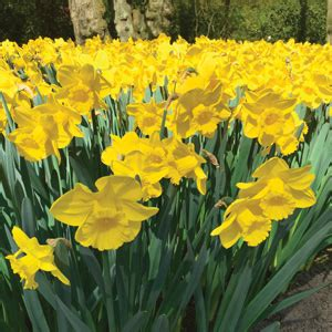 daffodil yellow daffodil yellow trumpet 5 pack garden express