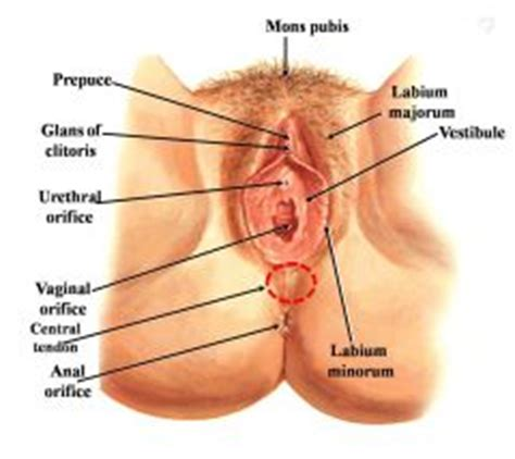 diagram of clitorus rs 2 anatomy of the reproductive system flashcards