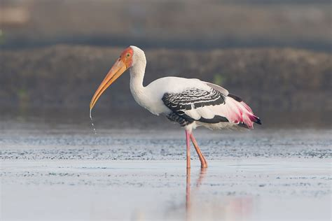 what is a bird stork