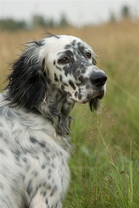 english setter dog wiki file setter portrait jpg wikimedia commons