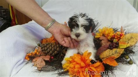 miniature schnauzer puppies for sale in sc akc minature schnauzer puppies for sale in barton south carolina classified