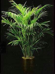 Low Light Indoor Trees by Indoor Plants Gallery The Potted Plant Scottsdale