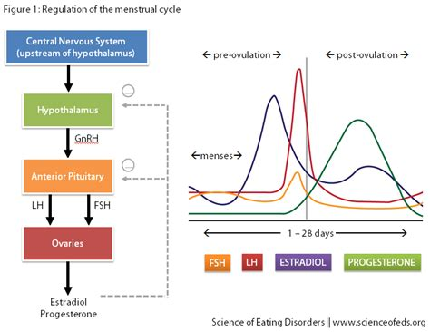hormone cycle diagram hormone cycle graph
