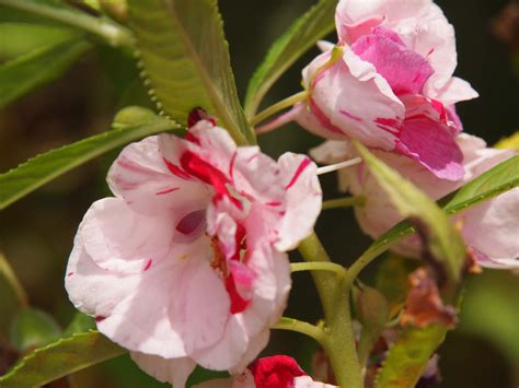 caring for balsam in the garden how to grow balsam plants