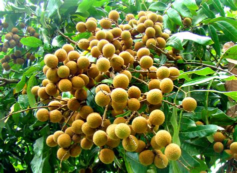 Jual Bibit Buah Hidroponik home bibit tanaman the knownledge