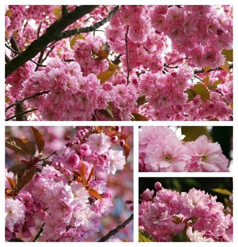 japanischer garten bäume die besten 17 ideen zu rosa b 228 ume auf bl 252 hende